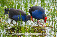 Purple Swamphen Photo - Gary Bell