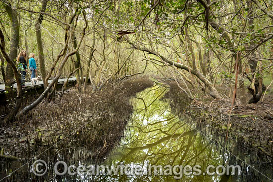 Forest of Grey Mangrove (Avicennia marina var australasicum), situated in the tidal zone of Coffs Harbour Creek, Coffs Harbour, New South Wales, Australia.