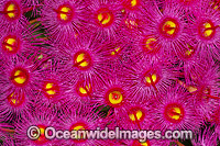 Gum tree flowers Photo - Gary Bell