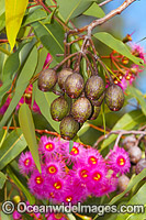 Australian gum nuts and flowers Photo - Gary Bell
