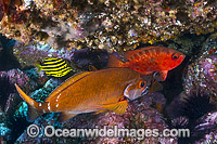 Morwong Bigeye and Stripey photo