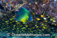 Blue Angelfish with Bullseye photo