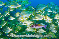 Black-spot Goatfish and Tarwhine image
