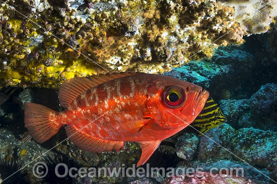 Blotched Bigeye (Heteropriacanthus cruentatus). Photo taken at the Solitary Islands, Coffs Harbour, New South Wales, Australia. Photo - Gary Bell