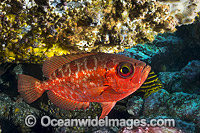Blotched Bigeye Solitary Islands Photo - Gary Bell