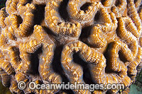 Brain Coral Christmas Island Photo - Gary Bell