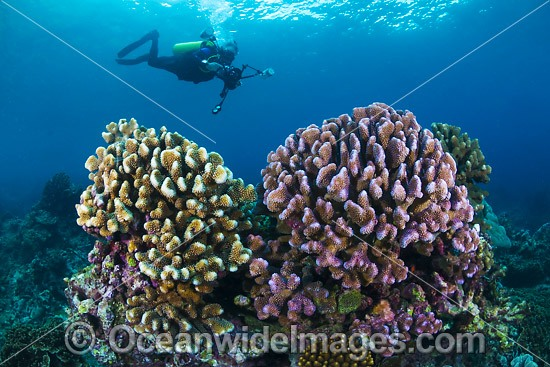 Underwater photographer exploring and photographing a tropical coral (Pocillopora eydouxi) at Christmas Island, Indian Ocean, Australia. Photo - Gary Bell