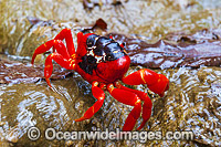 Christmas Island Red Crab Gecarcoidea natalis Photo - Gary Bell