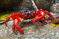 Christmas Island Red Crab Photo - Gary Bell