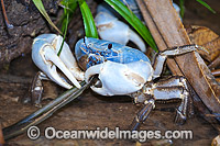 Blue Crab Christmas Island Photo - Gary Bell