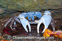 Blue Crab Discoplax hirtipes Photo - Gary Bell