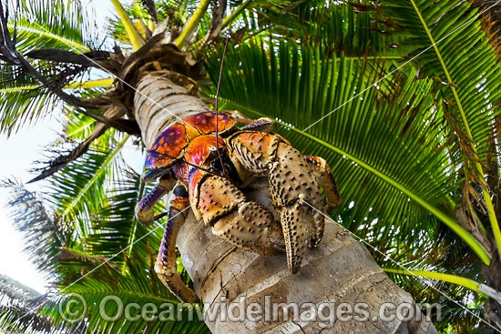 how to cook coconut crab