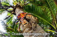 Robber Crab or Coconut Crab Photo - Gary Bell
