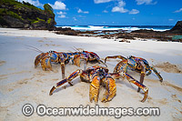 Coconut Crab Birgus latro Photo - Gary Bell