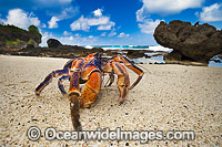 Coconut Crab Christmas Island Photo - Gary Bell