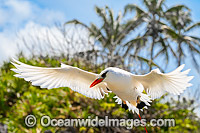 Red-tailed Tropicbird Christmas Island image