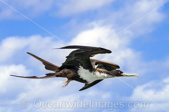 Christmas Island Frigatebird (Fregata andrewsii), in flight. World's rarest Frigatebird, which nests on Christmas Island, Indian Ocean, Australia. Listed as Critically Endangered on the IUCN Red List Photo - Gary Bell