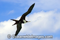 Christmas Island Frigatebird Photo - Gary Bell
