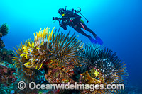 Scuba Diver and Feather Stars Christmas Island Photo - Gary Bell