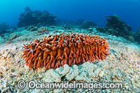 Sea Cucumber Christmas Island Photo - Gary Bell