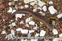 Christmas Island Whip-tail Skink photo