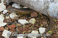 Christmas Island Whip-tail Skink Photo - Gary Bell