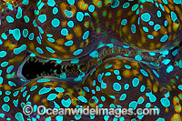Giant Clam mantle patterns Photo - Gary Bell