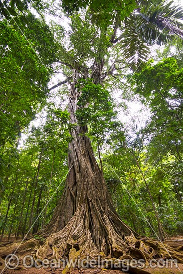 Giant Strangler Fig Tree, situated in the rainforest on Christmas Island, Indian Ocean, Australia. Photo - Gary Bell