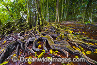 Buttress Tree Christmas Island Photo - Gary Bell
