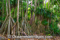 Pandanus Forest Christmas Island Photo - Gary Bell