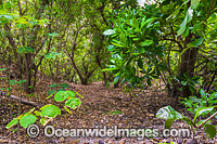 Hibiscus Forest Christmas Island Photo - Gary Bell