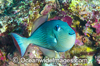 Gilded Triggerfish Christmas Island Photo - Gary Bell
