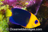 Cocos Angelfish Christmas Island Photo - Gary Bell