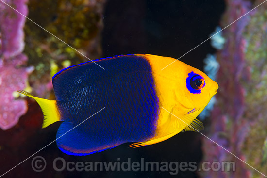 Cocos Angelfish (Centropyge joculator). Found only at Cocos-Keeling Islands and Christmas Island, Western Indian Ocean, Australia. Photo - Gary Bell