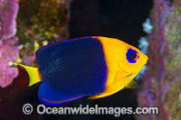 Cocos Angelfish Centropyge joculator Photo - Gary Bell