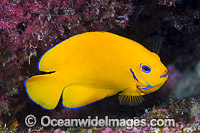 Lemonpeel Angelfish Christmas Island Photo - Gary Bell
