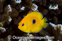 Juvenile Lemonpeel Angelfish Centropyge flavissima Photo - Gary Bell