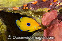 Juvenile Lemonpeel Angelfish Christmas Island Photo - Gary Bell