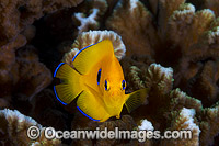 Juvenile Lemonpeel Angelfish Photo - Gary Bell