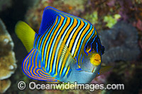 Regal Angelfish Pygoplites diacanthus stock photo