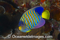 Regal Angelfish Christmas Island stock photo