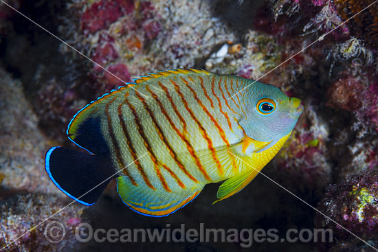 Eibl's Angelfish (Centropyge eilbli). Found in Eastern Indian Ocean from Sri Lanka to northwestern Australia and southern Indonesia. Photo taken at Christmas Island, Australia. Photo - Gary Bell