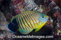 Eibl's Angelfish Centropyge eilbli Photo - Gary Bell