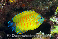 Hybrid Angelfish Christmas Island Photo - Gary Bell