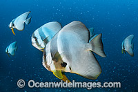 Batfish Christmas Island stock photo