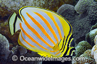 Ornate Butterflyfish Christmas Island photo