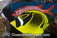 Racoon Butterflyfish Christmas Island photo
