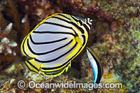 Meyer's Butterflyfish Christmas Island Photo - Gary Bell