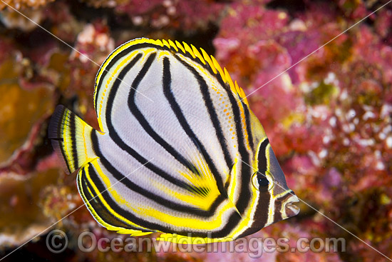 Meyer's Butterflyfish (Chaetodon meyeri). Found throughout Indo Pacific, including the Great Barrier Reef, Queensland, Australia. Photo - Gary Bell