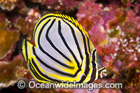 Meyer's Butterflyfish Chaetodon meyeri Photo - Gary Bell